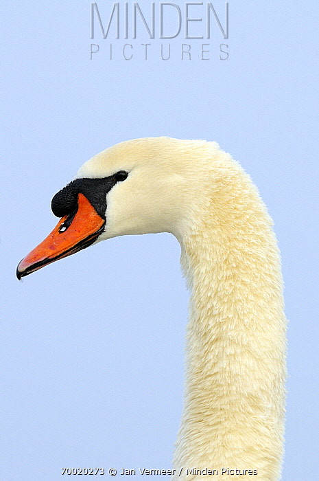 Mute Swan (Cygnus olor) male, Veluwemeer, Nunspeet, Gelderland, Netherlands  -  Jan Vermeer