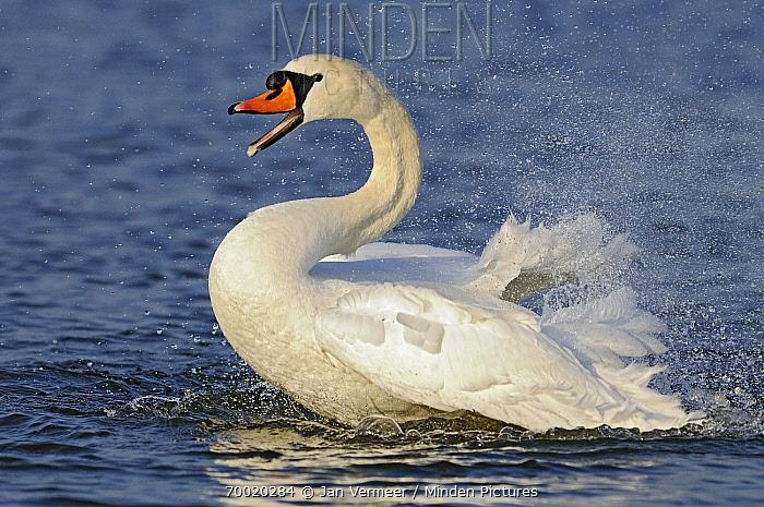 Mute Swan (Cygnus olor) male bathing, Veluwemeer, Nunspeet, Gelderland, Netherlands  -  Jan Vermeer
