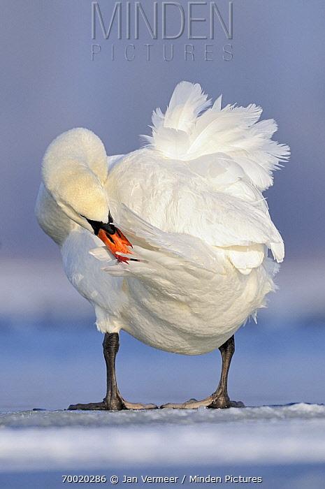 Mute Swan (Cygnus olor) preening on the ice, Veluwemeer, Nunspeet, Gelderland, Netherlands  -  Jan Vermeer