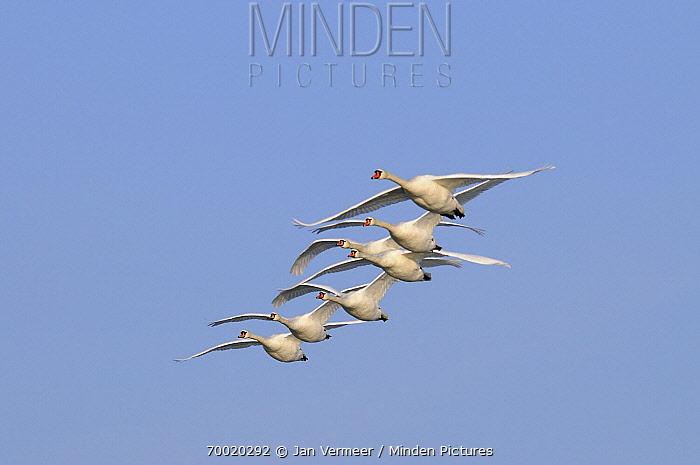 Mute Swan (Cygnus olor) group flying, Veluwemeer, Nunspeet, Gelderland, Netherlands  -  Jan Vermeer