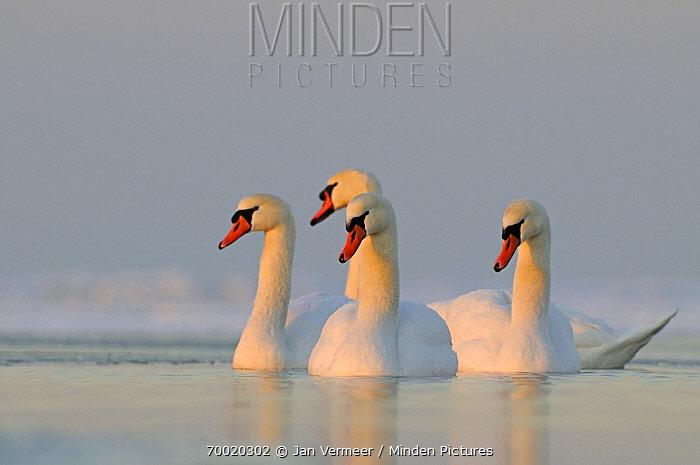 Mute Swan (Cygnus olor) group on water, Veluwemeer, Nunspeet, Gelderland, Netherlands  -  Jan Vermeer