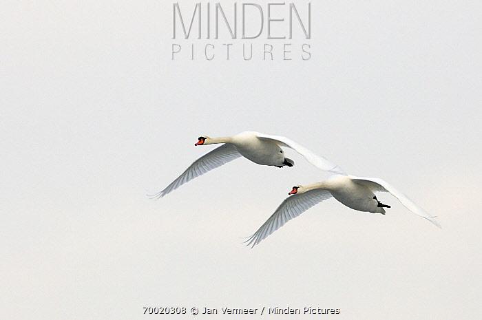 Mute Swan (Cygnus olor) flying, Veluwemeer, Nunspeet, Gelderland, Netherlands  -  Jan Vermeer