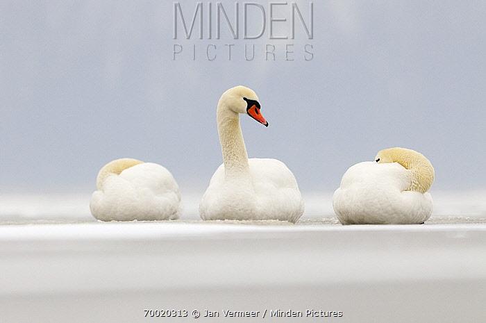 Mute Swan (Cygnus olor) on an icy lake in the winter, Veluwemeer, Nunspeet, Gelderland, Netherlands  -  Jan Vermeer