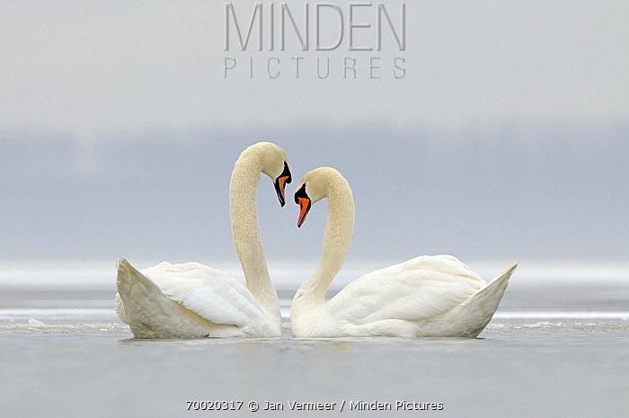 Mute Swan (Cygnus olor) pair on lake in the winter, Veluwemeer, Nunspeet, Gelderland, Netherlands  -  Jan Vermeer
