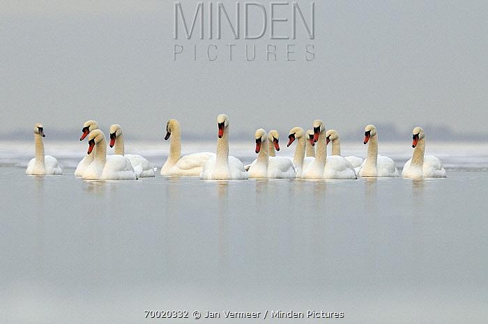 Mute Swan (Cygnus olor) group on a lake in the winter, Veluwemeer, Nunspeet, Gelderland, Netherlands  -  Jan Vermeer