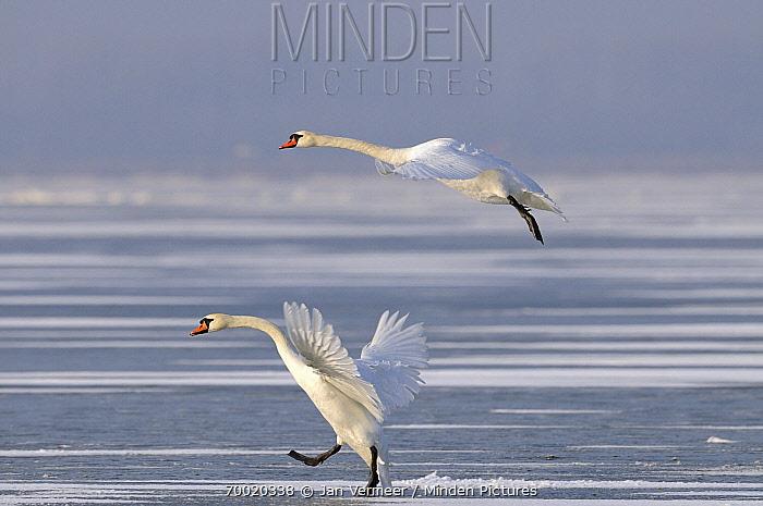 Mute Swan (Cygnus olor) pair landing on ice, Veluwemeer, Nunspeet, Gelderland, Netherlands  -  Jan Vermeer