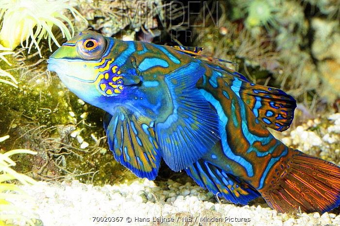 Picturesque Dragonet (Synchiropus picturatus), Indonesia  -  Hans Leijnse/ NiS