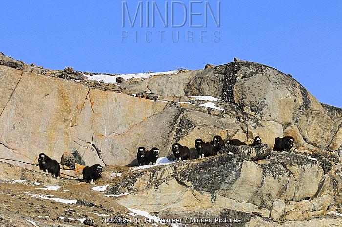 Muskox (Ovibos moschatus) group on cliffside, Kangerlussuaq, Sondre, Stromfjord, Greenland  -  Jan Vermeer