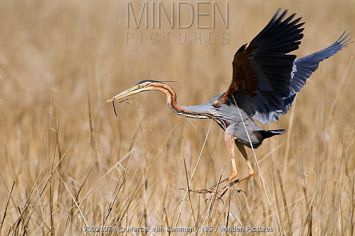 Purple Heron (Ardea purpurea) flying with nesting material, Ameide, Zuid-Holland, Netherlands  -  Marcel van Kammen/ NiS