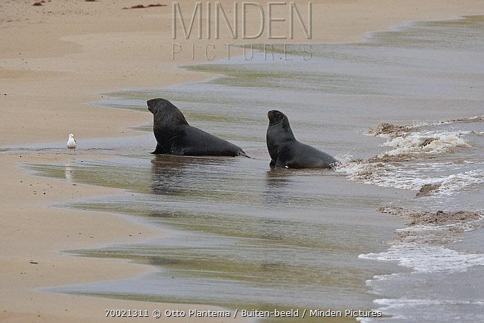 Hooker's Sea Lion (Phocarctos hookeri) male and female on beach, Enderby Island, New Zealand  -  Otto Plantema/ Buiten-beeld
