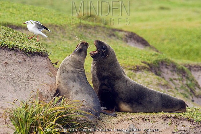 Hooker's Sea Lion (Phocarctos hookeri) pair fighting, Enderby Island, New Zealand  -  Otto Plantema/ Buiten-beeld