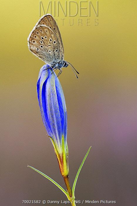 Alcon Blue (Maculinea alcon) butterfly on Marsh Gentian (Gentiana pneumonanthe), Military Domain Groot Schietveld, Campine, Antwerp, Flanders, Belgium  -  Danny Laps/ NiS