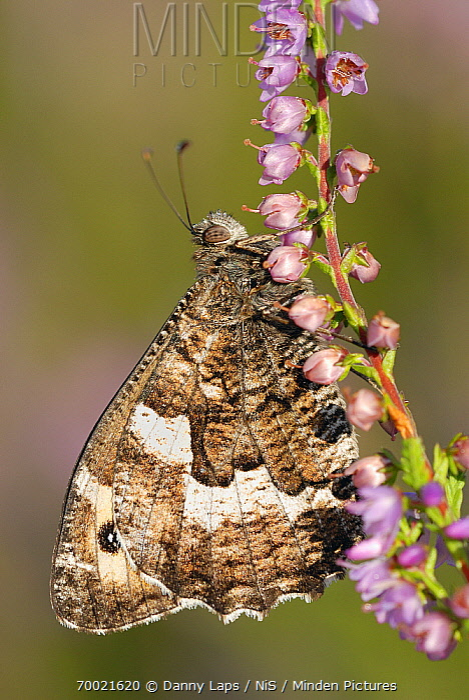 Grayling (Hipparchia semele) butterfly on Heather (Calluna vulgaris), Military Domain Groot Schietveld, Campine, Antwerp, Flanders, Belgium  -  Danny Laps/ NiS