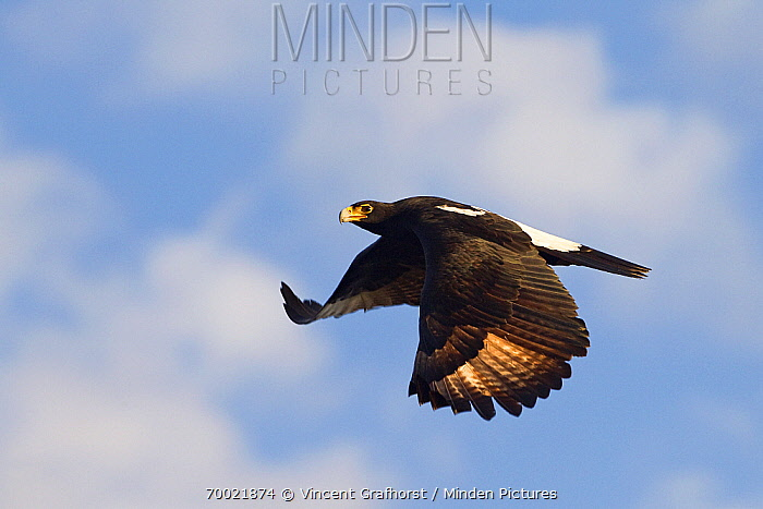 Black Eagle (Aquila verreauxii) flying, Kgale Hill, Gaborone, Botswana  -  Vincent Grafhorst