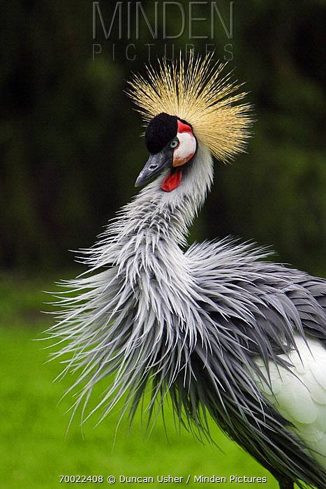 Grey Crowned Crane (Balearica regulorum), Lower Saxony, Germany  -  Duncan Usher