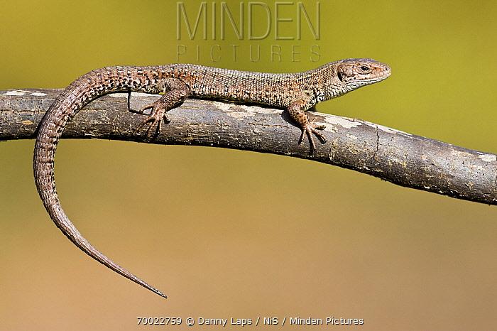 Viviparous Lizard (Lacerta vivipara) sunbathing on a branch, Groot Schietveld, Antwerp, Flanders, Belgium  -  Danny Laps/ NiS