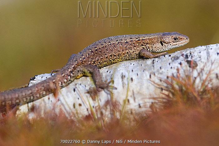 Viviparous Lizard (Lacerta vivipara) warming up in sun, Groot Schietveld, Antwerp, Flanders, Belgium  -  Danny Laps/ NiS