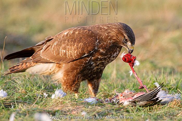 Common Buzzard (Buteo buteo) feeding on Common Wood-pigeon (Columba palumbus), Groot Schietveld, Antwerp, Flanders, Belgium  -  Danny Laps/ NiS