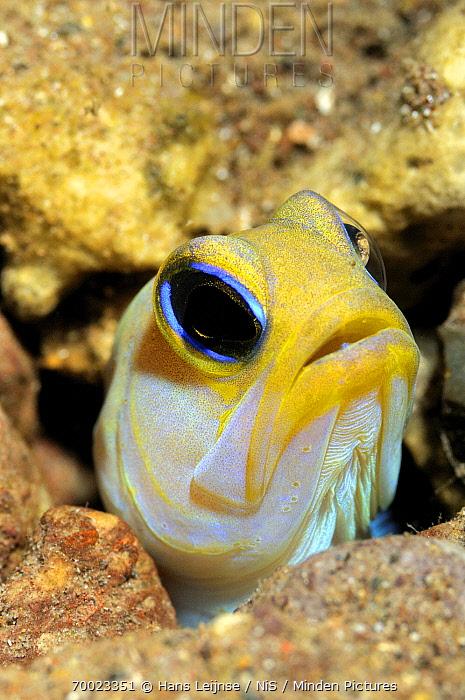 Yellowhead Jawfish (Opistognathus aurifrons) emerging from burrow, Saba, Caribbean  -  Hans Leijnse/ NiS