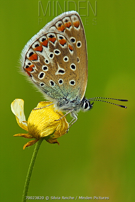 Common Blue (Polyommatus icarus) on Meadow Buttercup (Ranunculus acris), Pruggern, Styria, Austria  -  Silvia Reiche