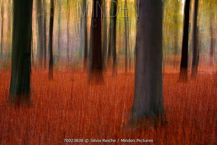 European Beech (Fagus sylvatica) forest in autumn, Diessen, Noord-Brabant, Netherlands  -  Silvia Reiche