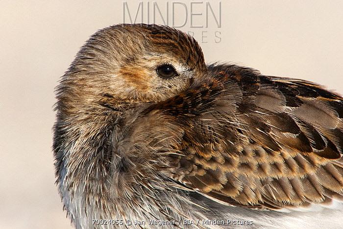 Dunlin (Calidris alpina) resting with bill under wing, Helgoland, Germany  -  Jan Wegener/ BIA
