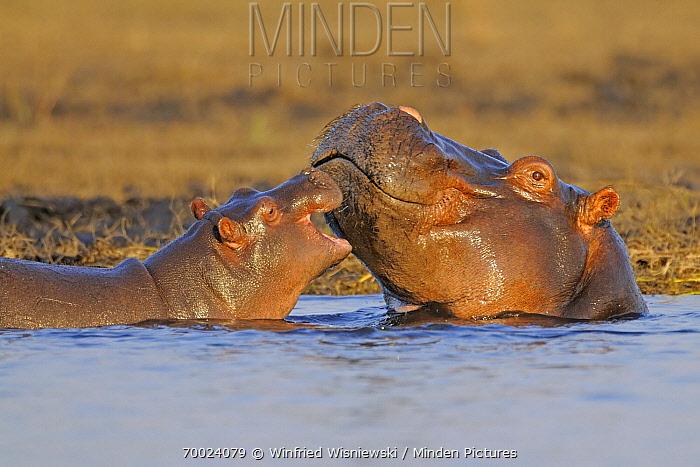 Hippopotamus (Hippopotamus amphibius) with calf, Chobe National Park, Botswana  -  Winfried Wisniewski