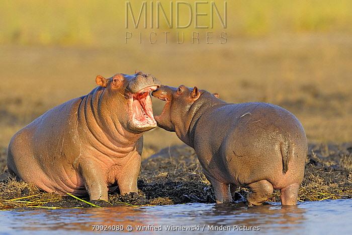 Hippopotamus (Hippopotamus amphibius) young playing, Chobe National Park, Botswana  -  Winfried Wisniewski