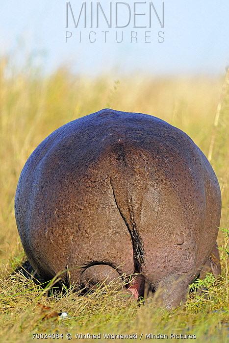 Hippopotamus (Hippopotamus amphibius) backside, Chobe National Park, Botswana  -  Winfried Wisniewski