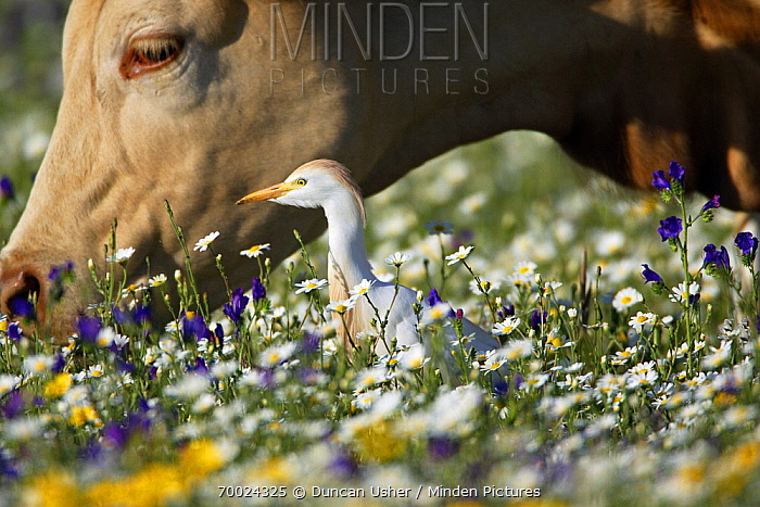 Cattle Egret (Bubulcus ibis) next to Domestic Cattle (Bos taurus), Alentejo, Portugal  -  Duncan Usher