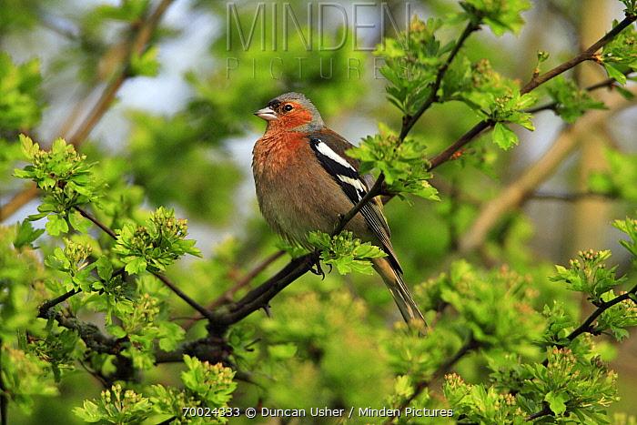 Chaffinch (Fringilla coelebs) male, Lower Saxony, Germany  -  Duncan Usher