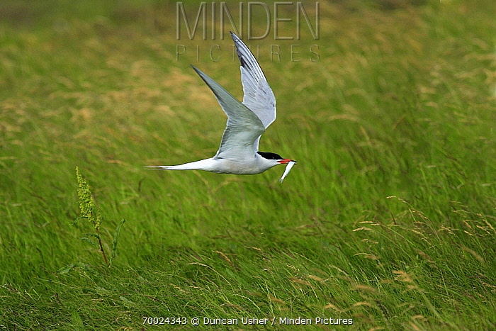 Common Tern (Sterna hirundo) flying with fish in its bill, Texel, Noord-Holland, Netherlands  -  Duncan Usher