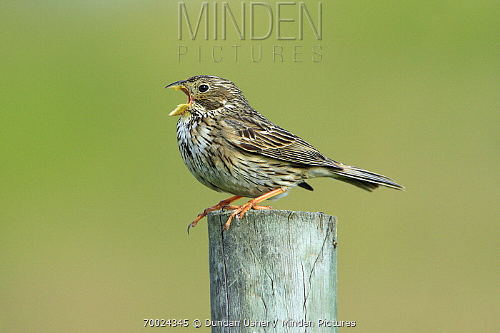 Corn Bunting (Emberiza calandra) singing from fence post, Alentejo, Portugal  -  Duncan Usher