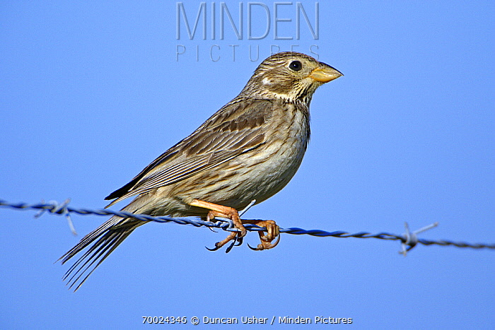 Corn Bunting (Emberiza calandra) on barbed wire, Alentejo, Portugal  -  Duncan Usher