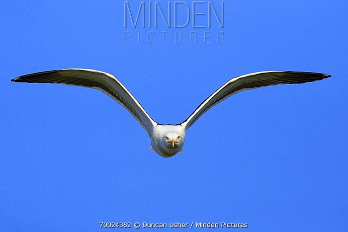 Great Black-backed Gull (Larus marinus) flying, Texel, Noord-Holland, Netherlands  -  Duncan Usher