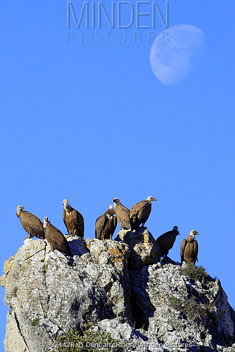 Griffon Vulture (Gyps fulvus) group perched on a rock, Andalucia, Spain  -  Duncan Usher
