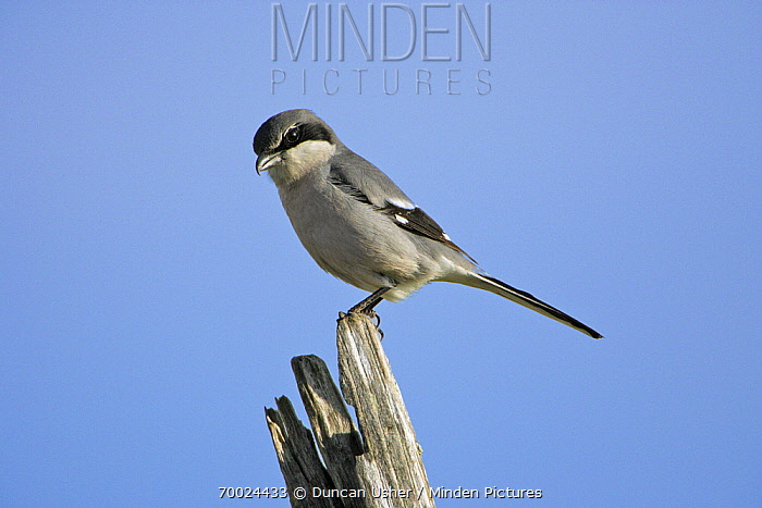 Great Grey Shrike (Lanius excubitor) on fence post, Extramadura, Spain  -  Duncan Usher