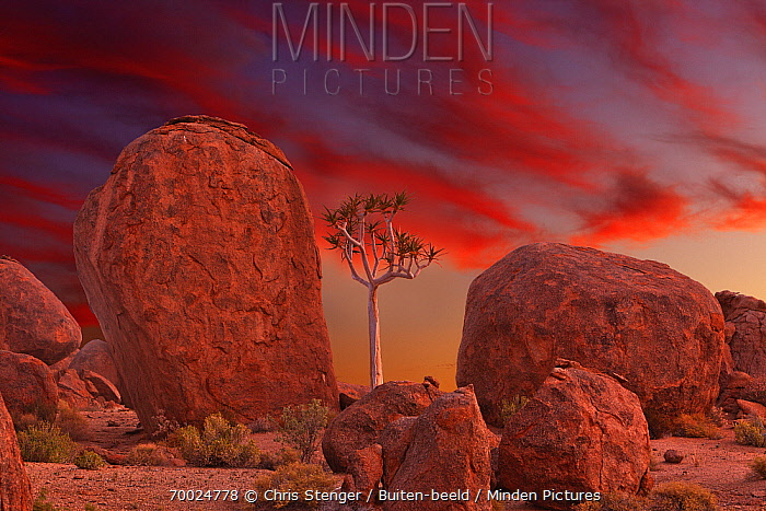 Quiver Tree (Aloe dichotoma) amid boulders at sunset, Richtersveld Transfrontier National Park, South Africa  -  Chris Stenger/ Buiten-beeld