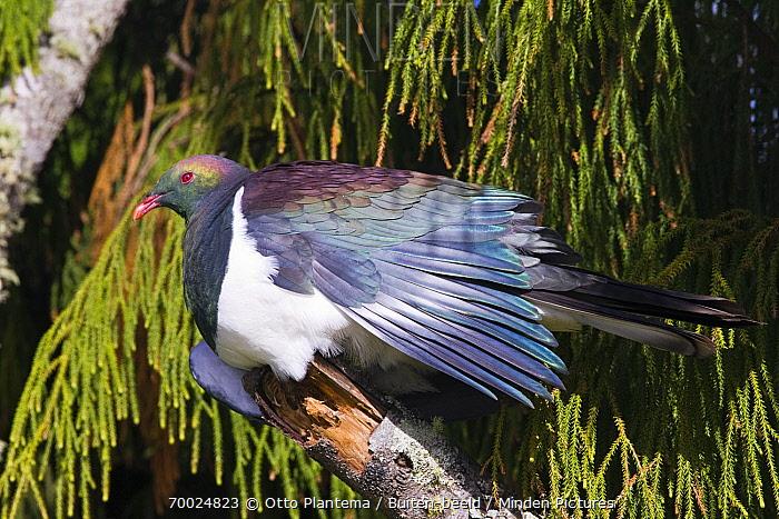 New Zealand Pigeon (Hemiphaga novaeseelandiae), Stewart Island, New Zealand  -  Otto Plantema/ Buiten-beeld