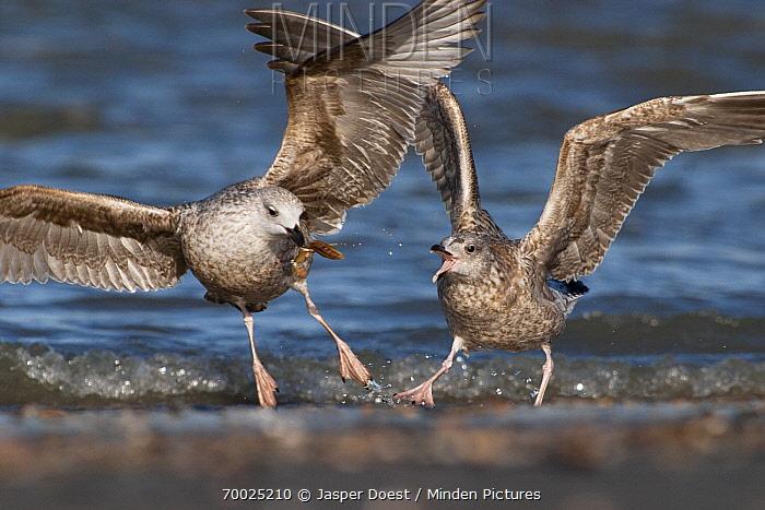 Herring Gull (Larus argentatus) two juveniles fighting over food, Hoek van Holland, Zuid-Holland, Netherlands  -  Jasper Doest