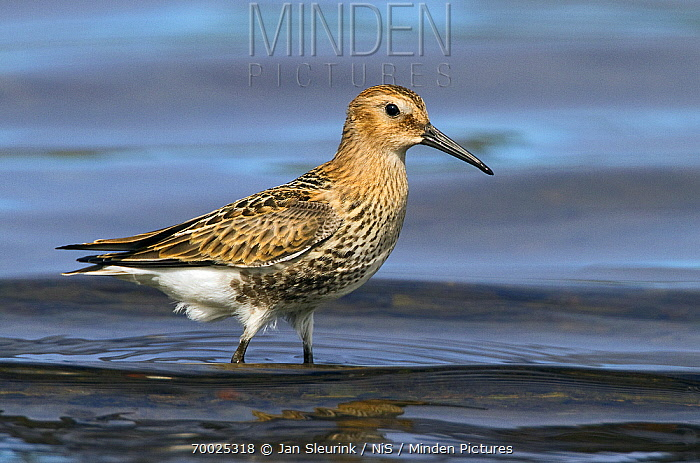 Dunlin (Calidris alpina) juvenile, Snaefellsnes, Iceland  -  Jan Sleurink/ NiS
