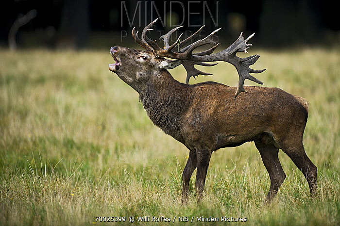 Red Deer (Cervus elaphus) stag bellowing, Kopenhagen, Denmark  -  Willi Rolfes/ NIS