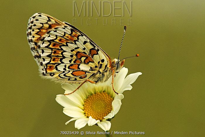 Glanville Fritillary (Melitaea cinxia) butterfly on Common Daisy (Bellis perennis), Saint-Jory-las-Bloux, Dordogne, France  -  Silvia Reiche