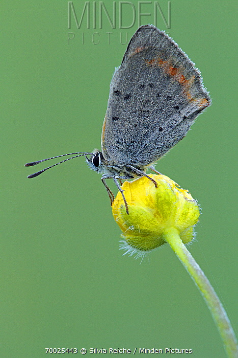 Small Copper (Lycaena phlaeas) butterfly on flower bud, Saint-Jory-las-Bloux, Dordogne, France  -  Silvia Reiche