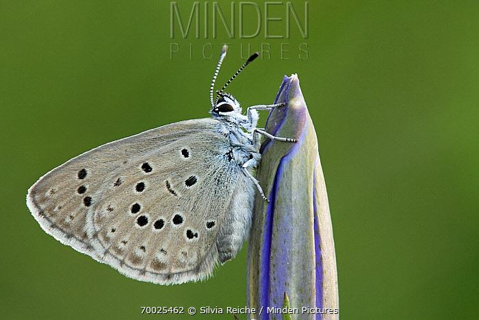 Alcon Blue (Maculinea alcon) butterfly resting on Gentian (Gentiana sp) flower bud, Neterselse Heide, Noord-Brabant, Netherlands  -  Silvia Reiche