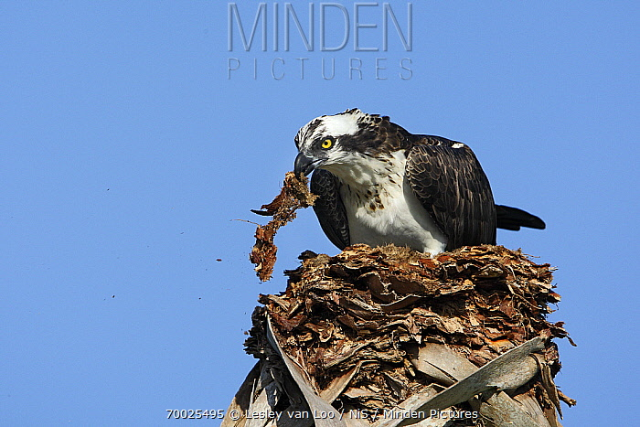 Osprey (Pandion haliaetus) collecting nesting material from a palm, Florida  -  Lesley van Loo/ NiS