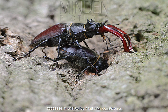 Stag Beetle (Lucanus cervus) male and female/nburrowing, Damme, Lower Saxony, Germany  -  Willi Rolfes/ NIS