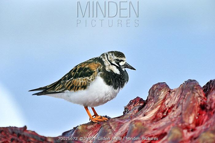 Ruddy Turnstone (Arenaria interpres) on carcass, Nunavut, Baffin Island, Canada  -  Andre Gilden/ NIS
