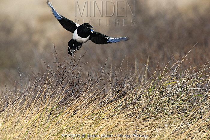 European Magpie (Pica pica) taking off, Hoek van Holland, Zuid-Holland, Netherlands  -  Jasper Doest