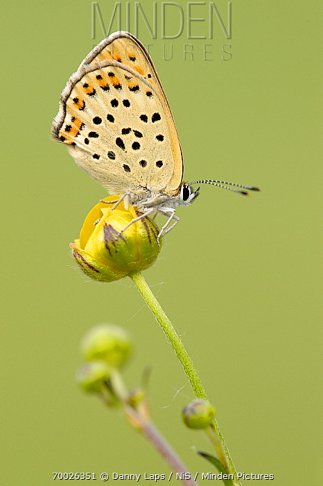 Sooty Copper (Lycaena tityrus) butterfly on Meadow Buttercup (Ranunculus acris), La Brenne, Indre, France  -  Danny Laps/ NiS